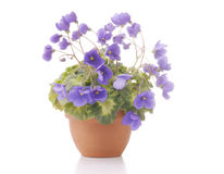 Violet flowers in a pot Stock Photography
