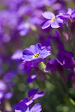 Violet flowers shallow DOF Royalty Free Stock Photography