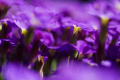 Violet flowers shallow DOF Stock Photography