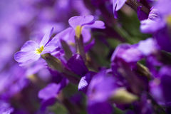 Violet flowers shallow DOF Royalty Free Stock Images
