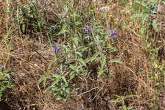 Violet flowers of Solanum eleagnifolium. In late spring in Greece royalty free stock image