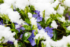 Violet flowers in spring covered by snow. Violet flowers blossom in spring covered by snow Royalty Free Stock Image