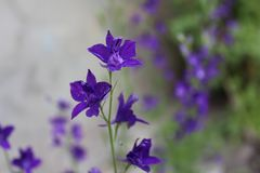 Violet flowers in the summer in the village. Nature in summer Stock Photography