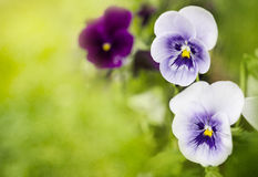 Violet flowers in sun Stock Images
