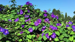 Violet flowers on a sunny day. Closeup of beautiful violet flowers against the background of blue skies stock video footage