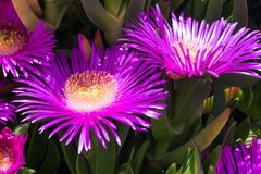 Violet flowers and thick green leaves of carpobrotus. Carpobrotus edulis is an edible and medicinal plant. Succulents royalty free stock images
