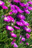 Violet flowers and thick green leaves of carpobrotus. Carpobrotus edulis is an edible and medicinal plant. Succulents.  stock photo
