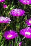 Violet flowers and thick green leaves of carpobrotus. Carpobrotus edulis is an edible and medicinal plant. Succulents stock image