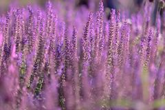 Purple flowers on thin stems are located close to each other. perovskija Small spire