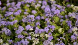 Violet Flowers Tiny - achtergrond stock foto