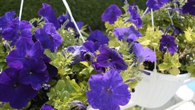 Violet flowers in village stock footage