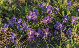 Violet flowers in wet morning sunrise time. Violet flowers in wet morning sunrise color time Royalty Free Stock Photos