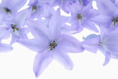 Violet flowers on white Royalty Free Stock Photo