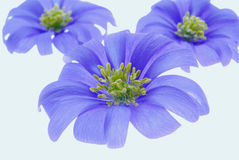 Violet flowers on white. Three violet flowers on white background Royalty Free Stock Photos