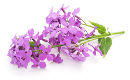 Violet flowers. Royalty Free Stock Photo