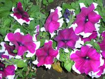 Violet flowers with white borders.