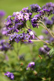 Violet Flowers. Wild violet flowers with spider web on them Stock Photography