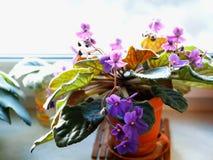 Violet flowers on window-sill bokeh background. Hd horizontal orientation vivid vibrant bright spacedrone808 color rich composition design concept element stock photos