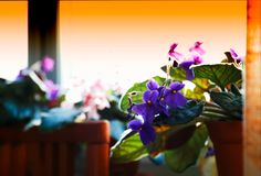 Violet flowers on window-sill bokeh background. Hd horizontal orientation vivid vibrant bright spacedrone808 color rich composition design concept element stock images