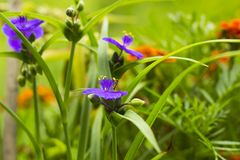 Violet flowers with yellow anthers Tradescantia in summer garden. Small Hoverfly on flower Stock Photography
