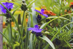 Violet flowers with yellow anthers Tradescantia in summer garden. Small Hoverfly on flower, side view Stock Images