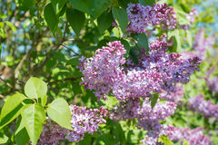 Violet flowers  and young leaves of a Common Lilac Royalty Free Stock Photos