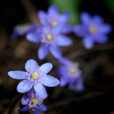 Violet forest flower Hepatica Stock Image