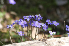 Violet forest flowers. Violet flowers in the forest summer day Stock Photography
