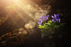 Violet on the forest. Violet on the spring forest Royalty Free Stock Photography