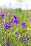 Violet forking larkspur flowers, purple meadow wild flowers Stock Images