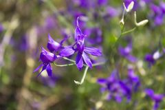 Violet forking larkspur flowers, purple meadow wild flowers Royalty Free Stock Photos