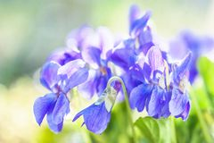 Violet fragrance Royalty Free Stock Images