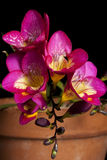 Violet Freesia Stock Image
