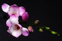 Freesia flower stock images