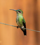 Violet-fronted Brilliant,(Heliodoxa leadbeateri) Royalty Free Stock Photo
