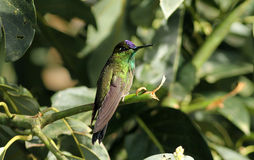 Violet-fronted Brilliant, hummingbird, Heliodoxa l royalty free stock photo