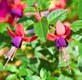 Violet fuchsia Stock Image