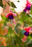 Violet fuchsia Stock Photo