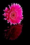 Violet garber daisy. Mirrored in black Stock Photo