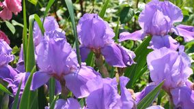 Violet garden irises bloom. On a bright summer sunny day in the garden, natural video sketch stock video footage