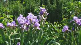 Violet garden irises bloom. On a bright summer sunny day in the garden, natural video sketch video with effects of zooming, moving the camera and slow motion stock video