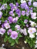 Violet Garden Pansies Foto de archivo libre de regalías