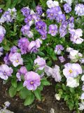 Violet Garden Pansies Royalty Free Stock Photo