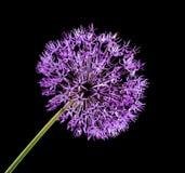 Violet Garlic Flower Stock Images