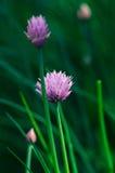 Violet garlic flower Stock Photos
