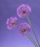 Violet Garlic Flowers Stock Image