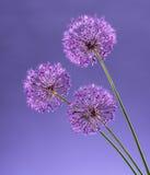Violet Garlic Flowers Stock Image