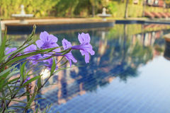 Violet Garlic Vine flowers. In front of the swimming pool Royalty Free Stock Photography