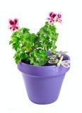 Violet geranium flower in a pot Stock Photos
