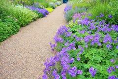 Violet geranium flowers along the path Stock Image